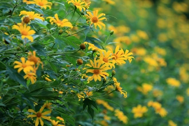 Mùa hoa dã quỳ tại Ba Vì