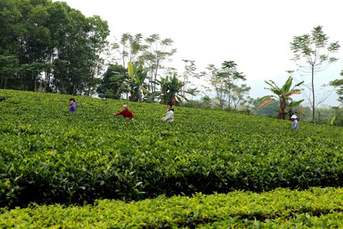 Vườn chè Ba Vì trải dài sắc xanh