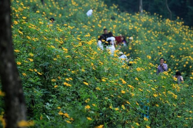 Thảm hoa dã quỳ tại Ba Vì